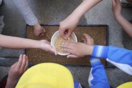 小学校5年生とのもち米づくりー5月30日:種をまきましたー