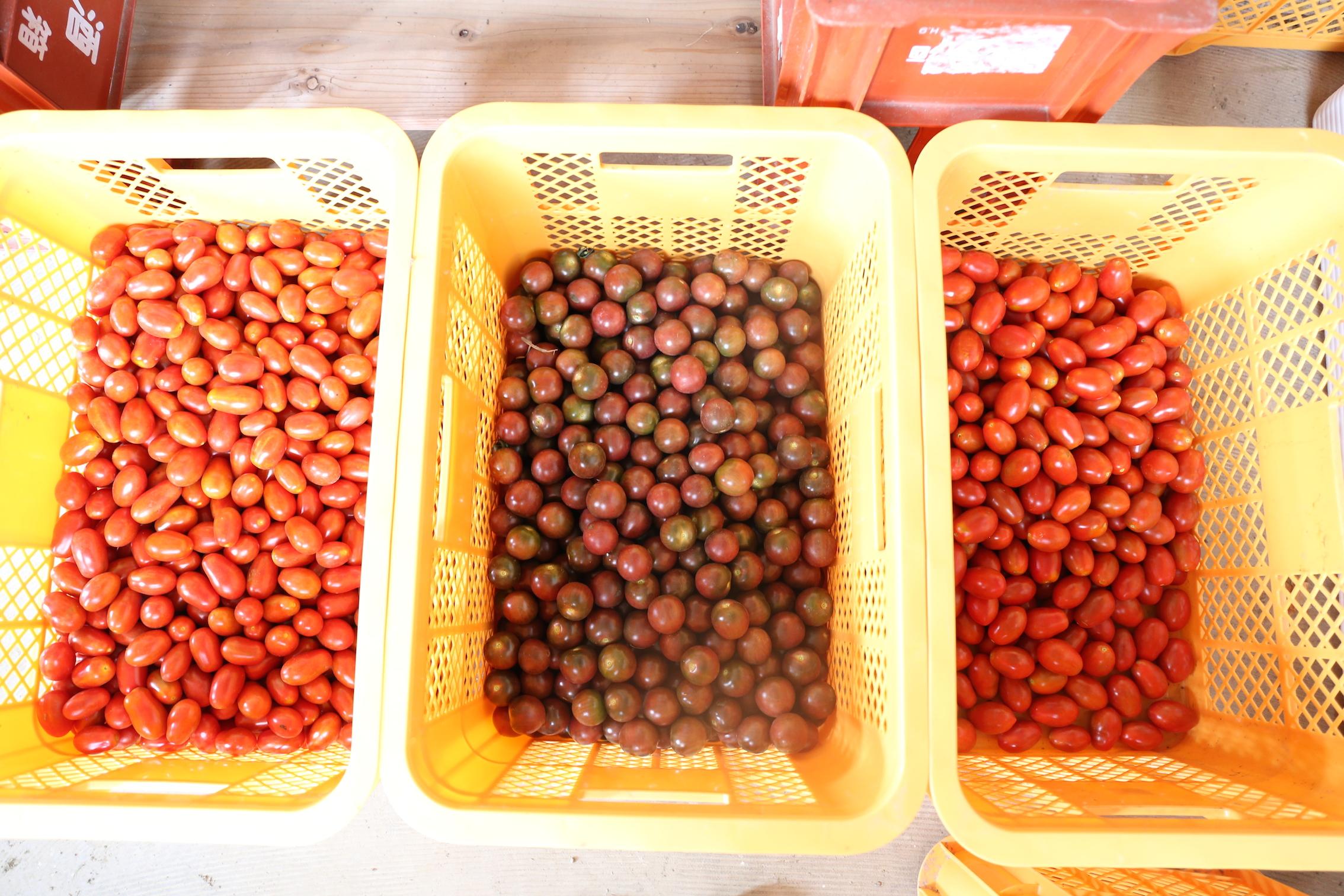 つなぐ農園のフレッシュなトマトたち