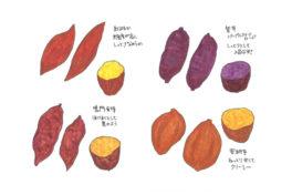 サツマイモ(「ちえちゃんのこんな野菜あんな野菜」2017年11月号 フルver.)