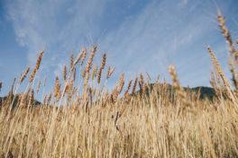 パンを食べる。小麦を育てる。田畑を守る。