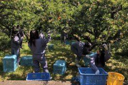 神山分校生活科3年生、阿川の「梅の収穫」を体験しました!