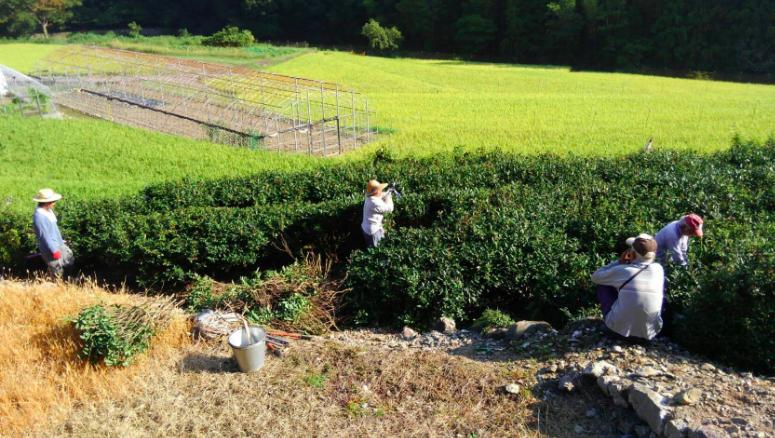 【地産地食の学校_13】<br/>阿波晩茶をつくろう〜茶摘みから樽詰めまで〜