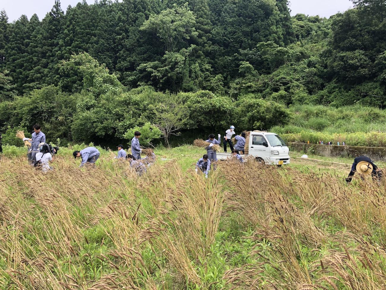 神山小麦の収穫