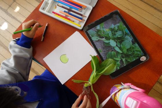 収穫したばかりの小松菜を描く子ども